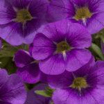 Lavender Improved