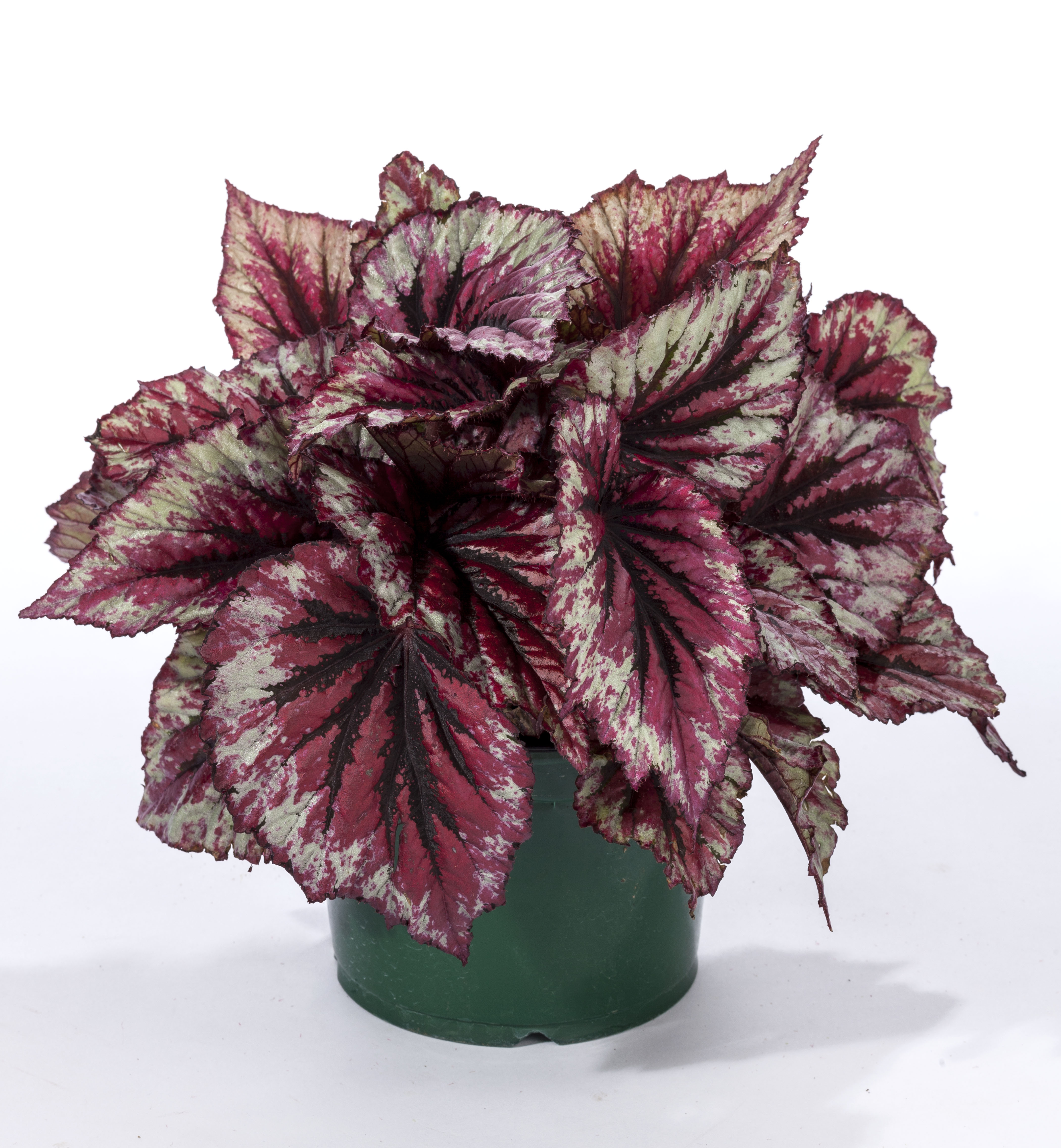 GREEN FUSE BEGONIA SHADOW KING CHERRY MINT 1