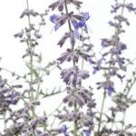 Perovskia Caspian Blue