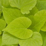 Heart Light Green