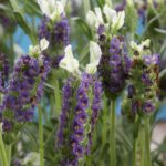Lavender_New_Madrid_Blue