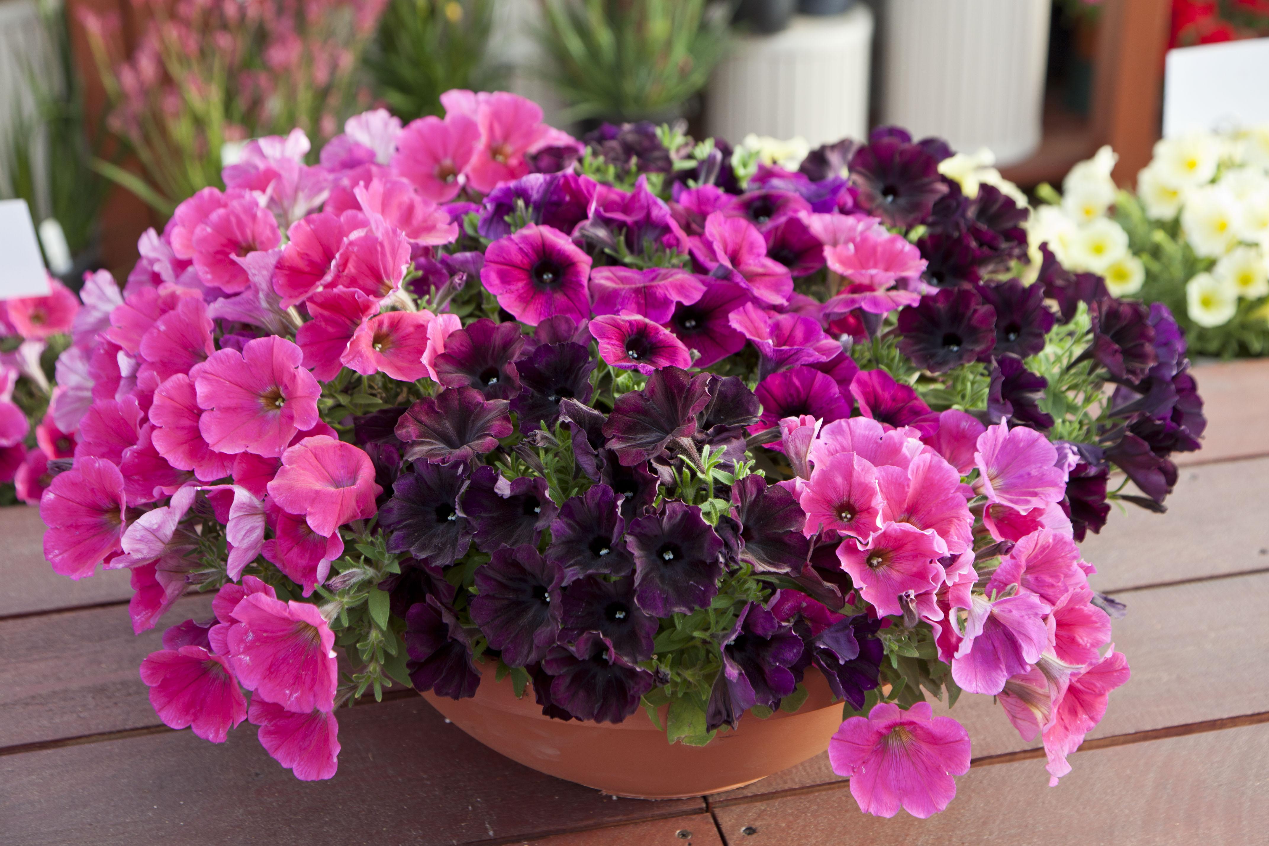 Pink Combination Petunia Hybrida Petunia Good And Plenty 174 Green Fuse