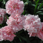 DIANTHUS CONSTANT BEAUTY COTTON CANDY PINK
