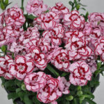 DIANTHUS CONSTANT BEAUTY PINK RED