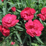 DIANTHUS CONSTANT BEAUTY RED