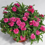 DIANTHUS CONSTANT PROMISE STRAWBERRY