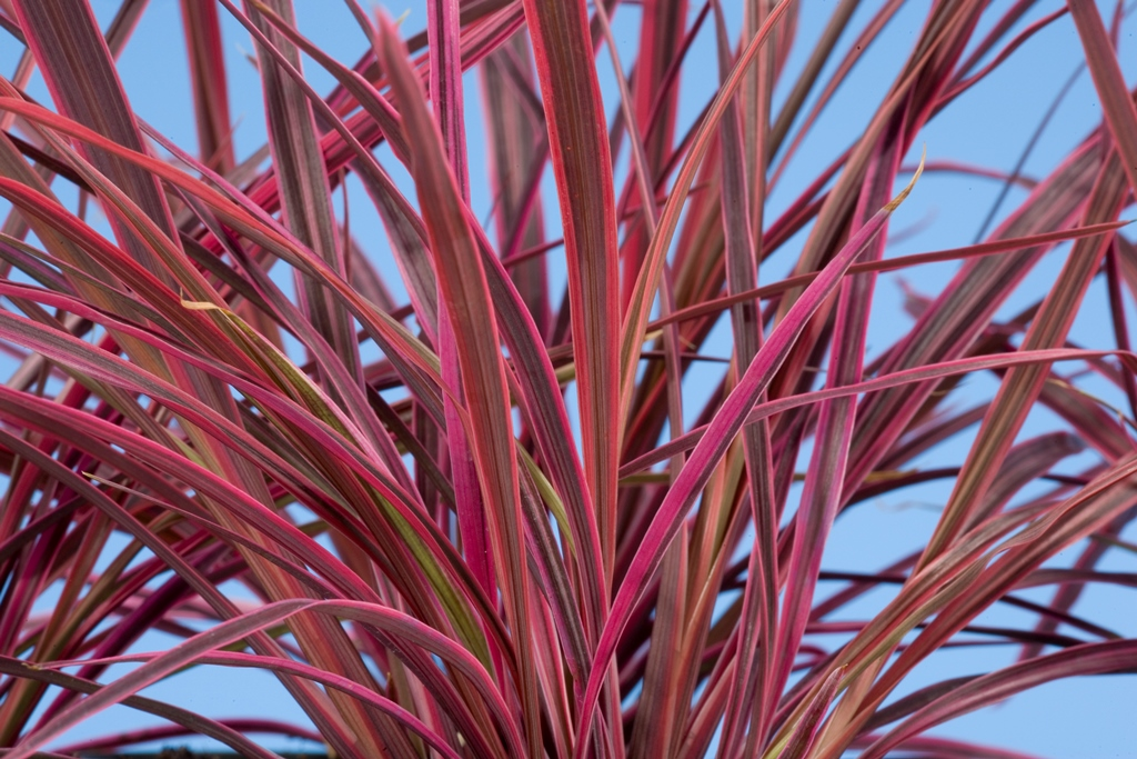 Cordyline Electric Green Fuse Botanicals Inc