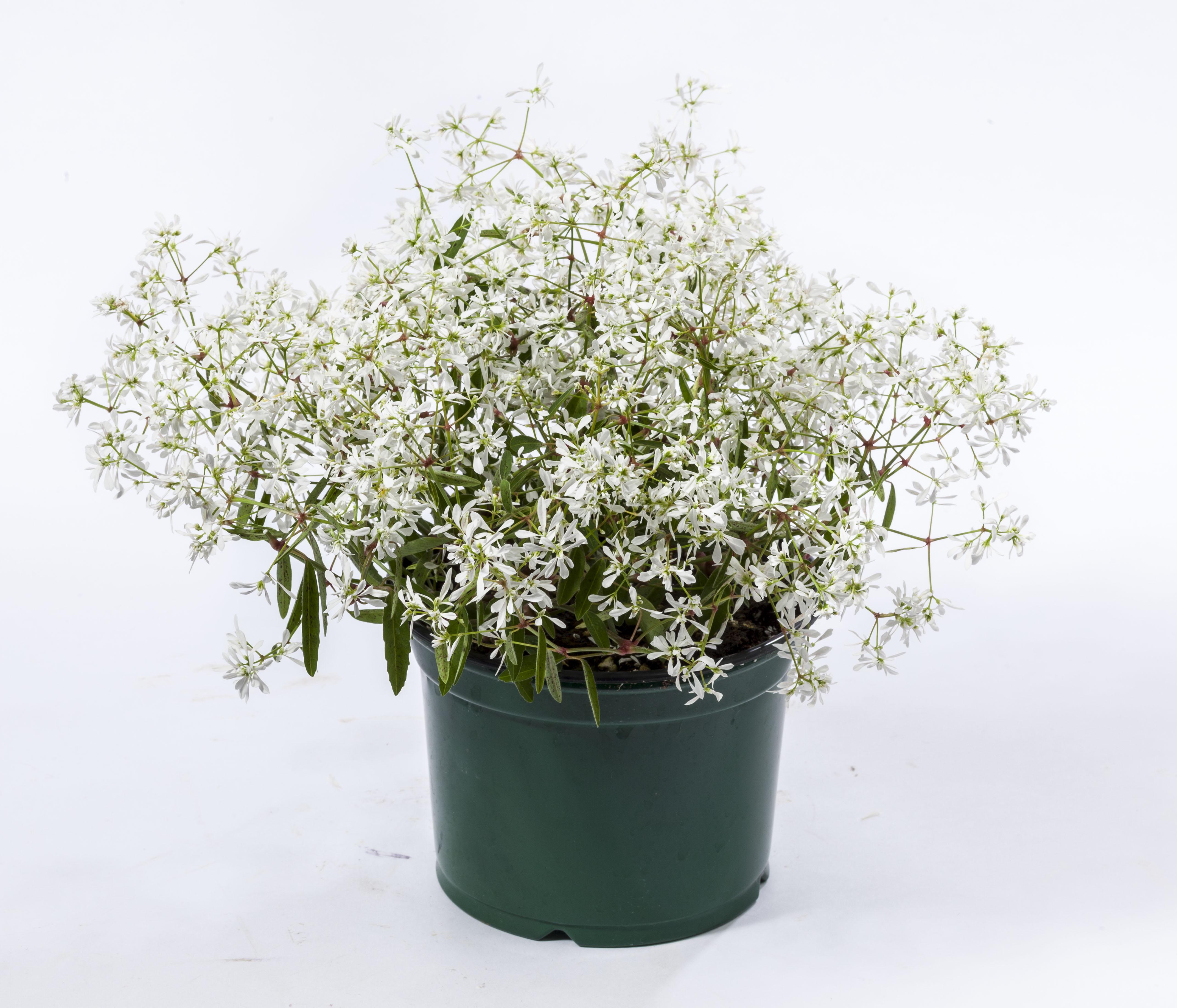 Euphorbia Green Fuse Botanicals Inc