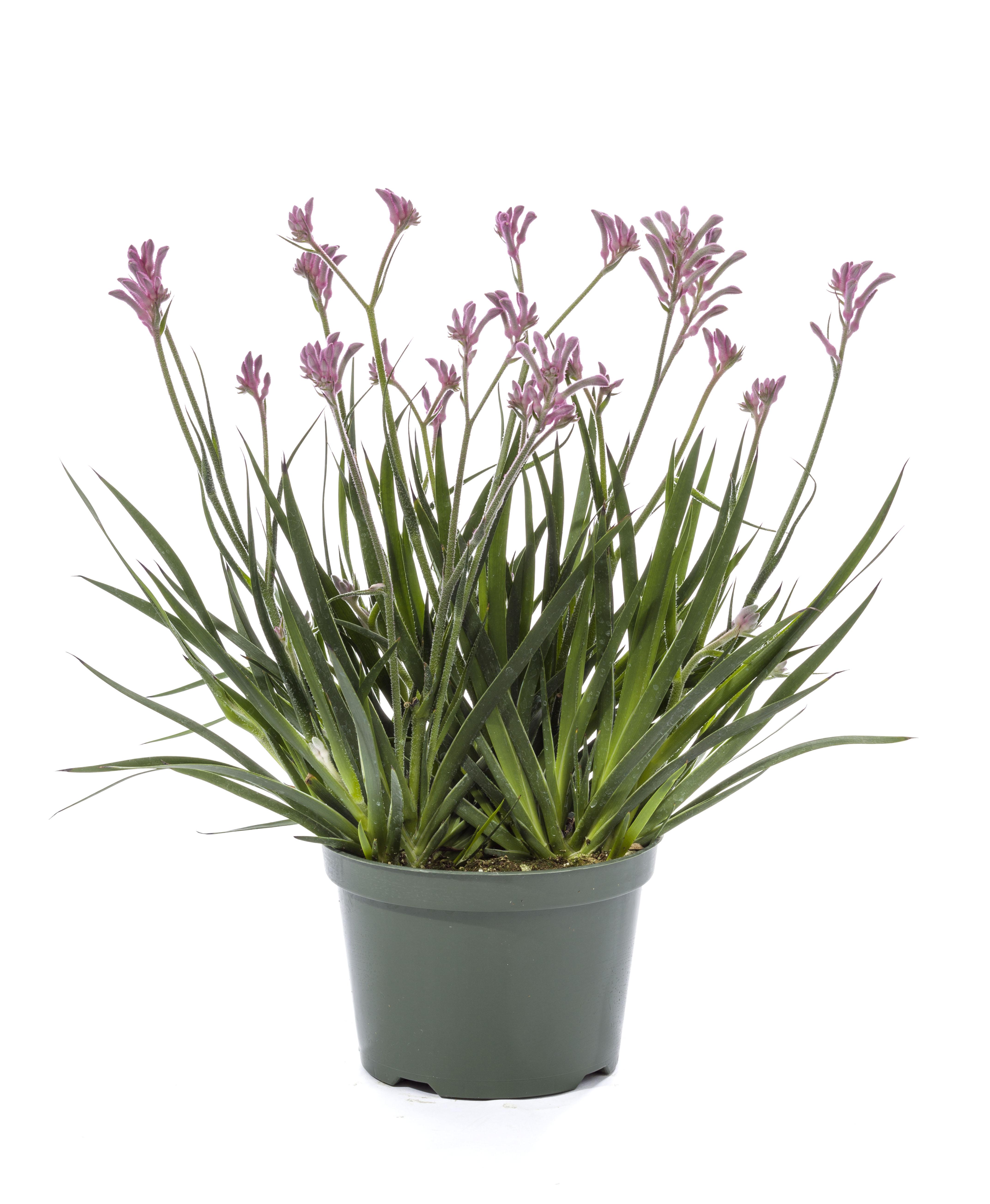 Anigozanthos Kanga Green Fuse Botanicals Inc