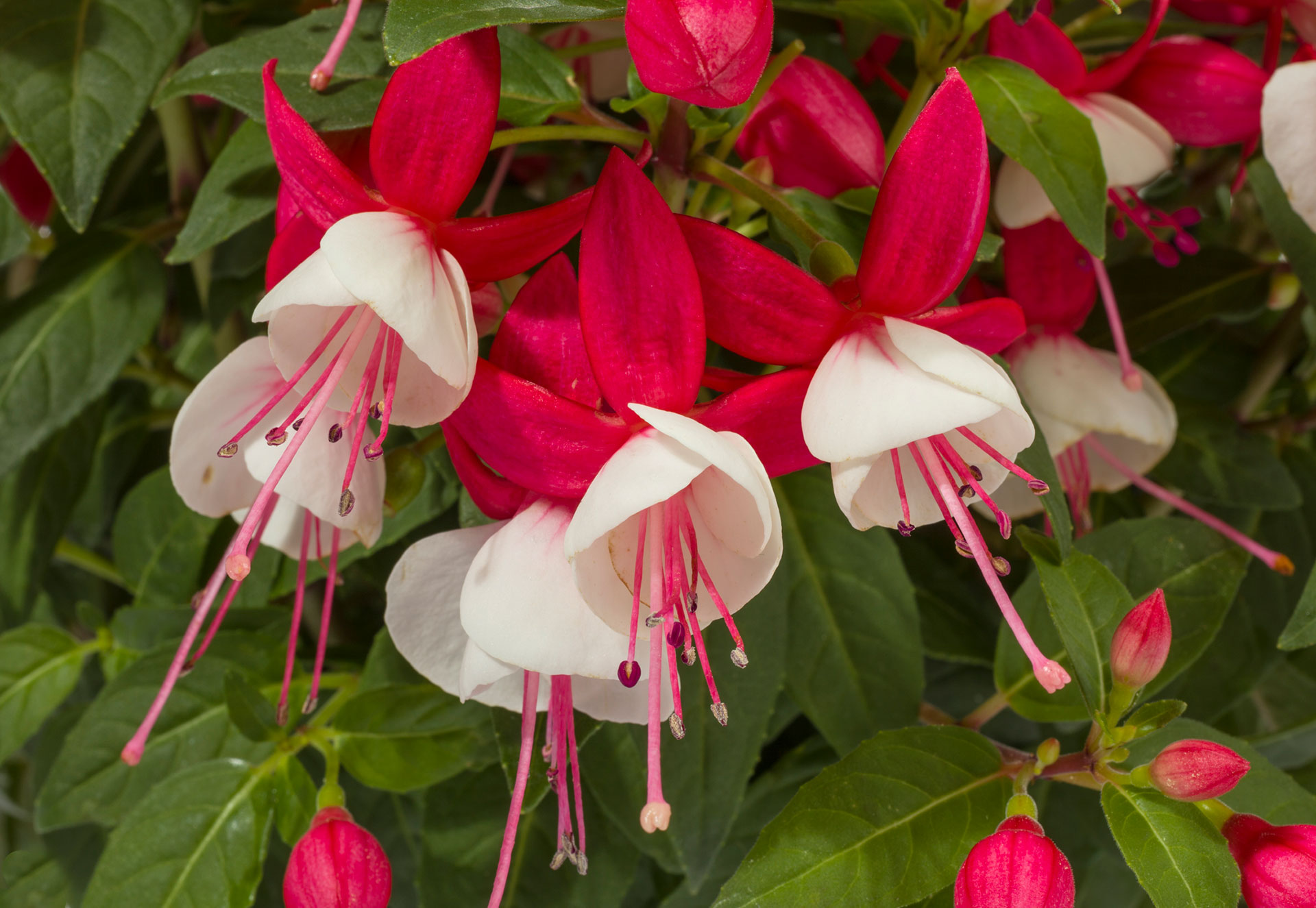 Picture of Live Fuchsias Red/White Plant Fit 1QRT Pot