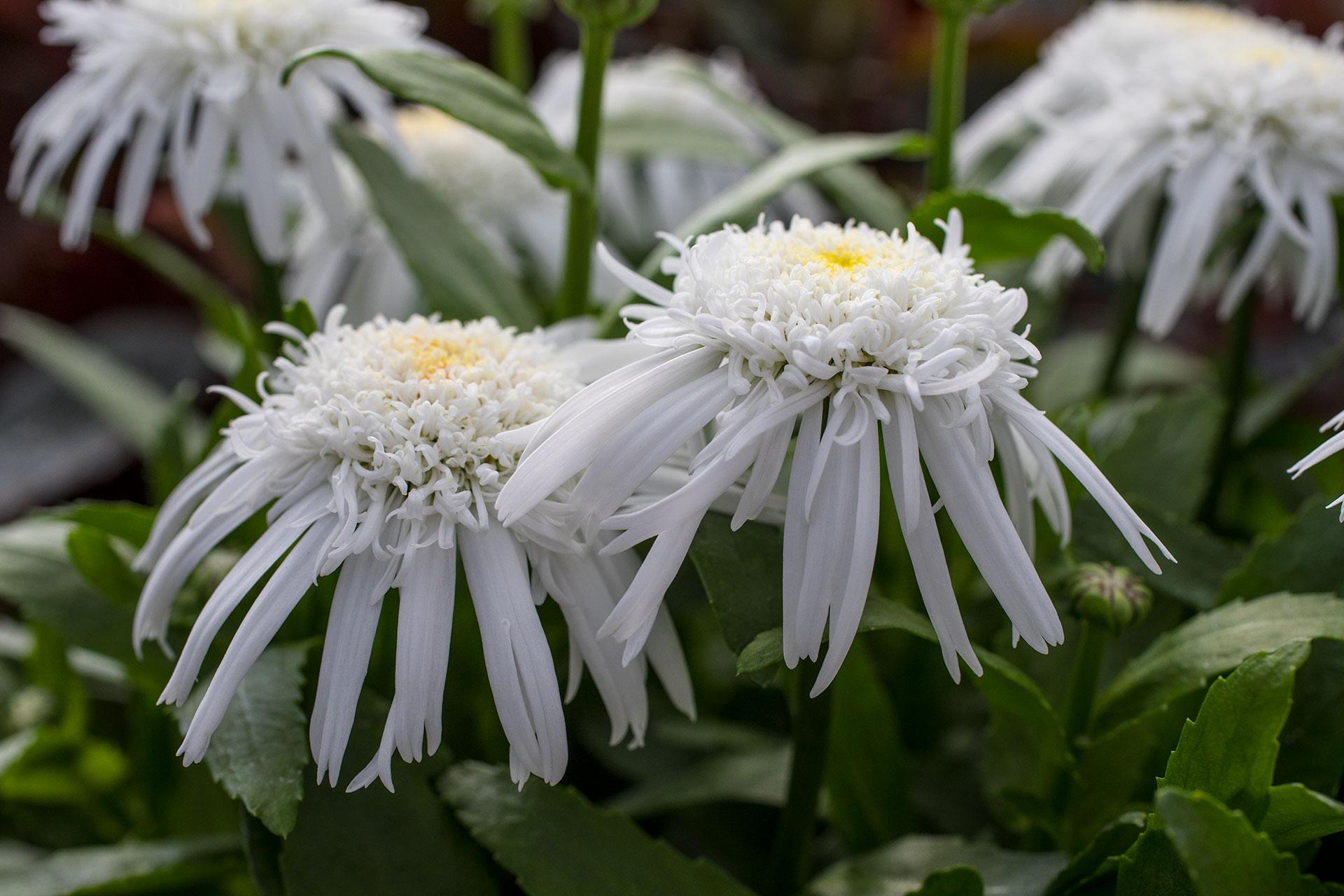 Leucanthemum Angel Daisy