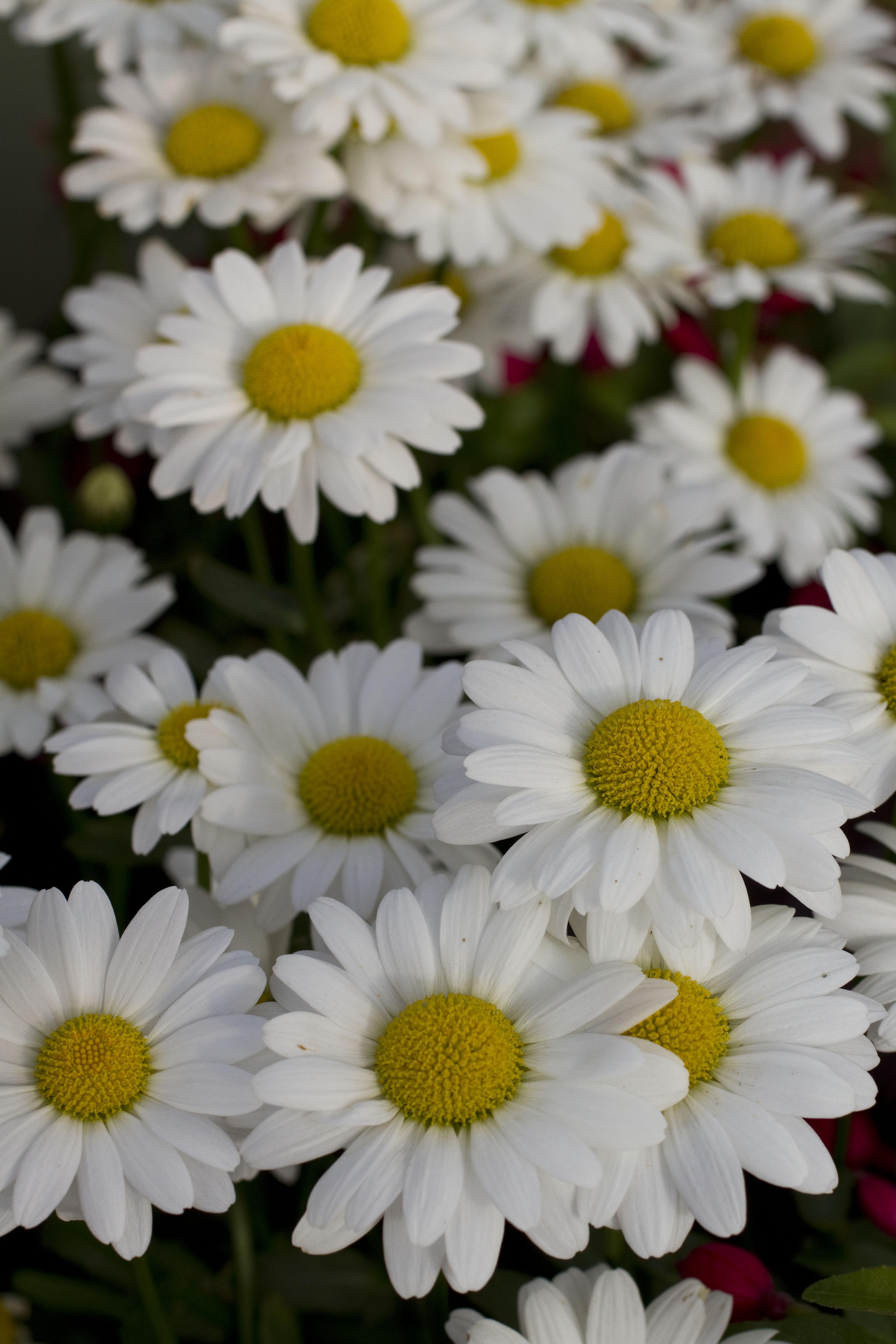 Leucanthemum white mountain green fuse botanicals inc leucanthemum white mountain mightylinksfo