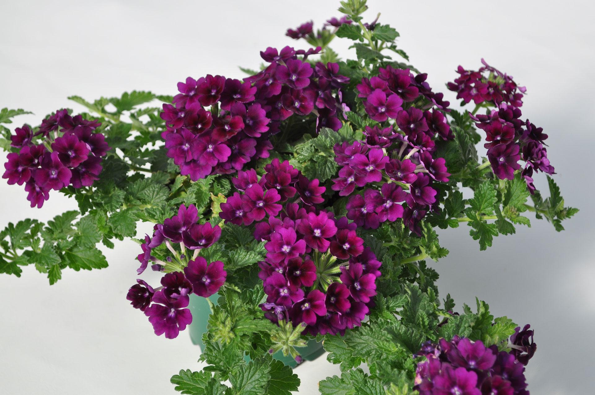 Verbena Hybrida Verbena Vivid 174 Green Fuse Botanicals Inc