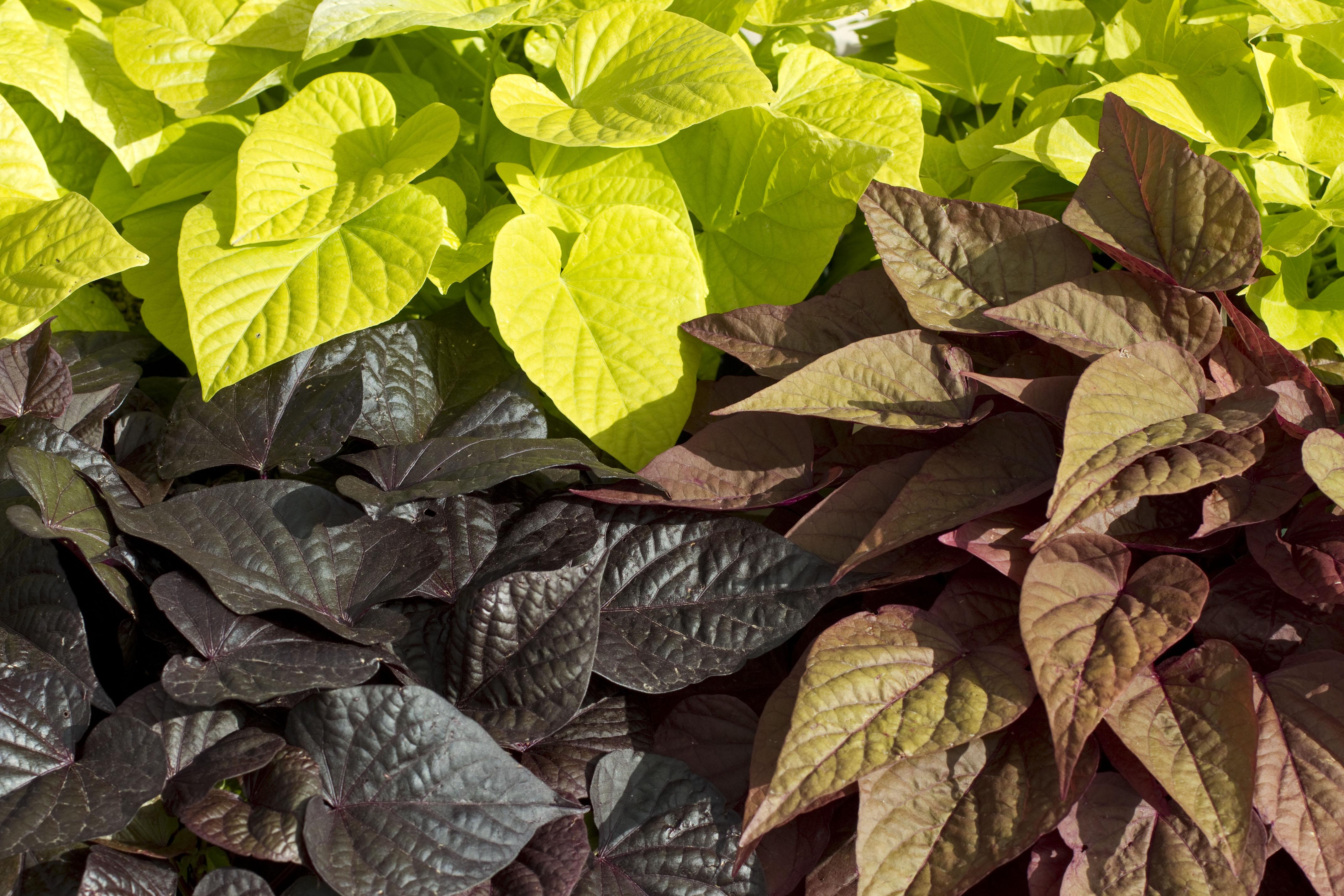 Ipomoea Sweet Georgia 174 Green Fuse Botanicals Inc