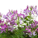 Cleome Clemintine Violet