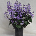 Plectranthus Lion Blue