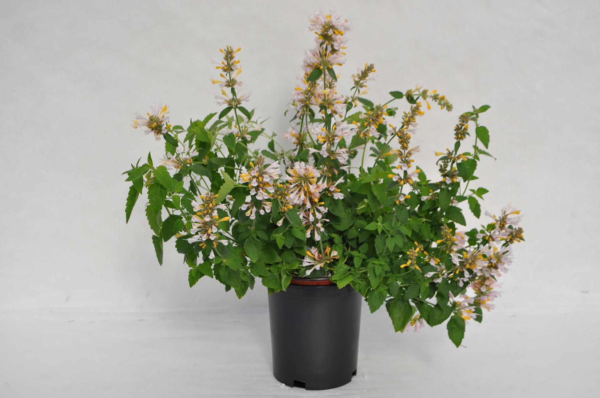 Agastache Sunrise Green Fuse Botanicals Inc