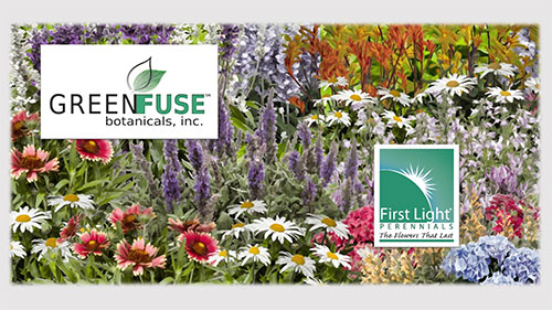 GREEN-FUSE-FIRST-LIGHT-PERENNIALS-2019-19-1