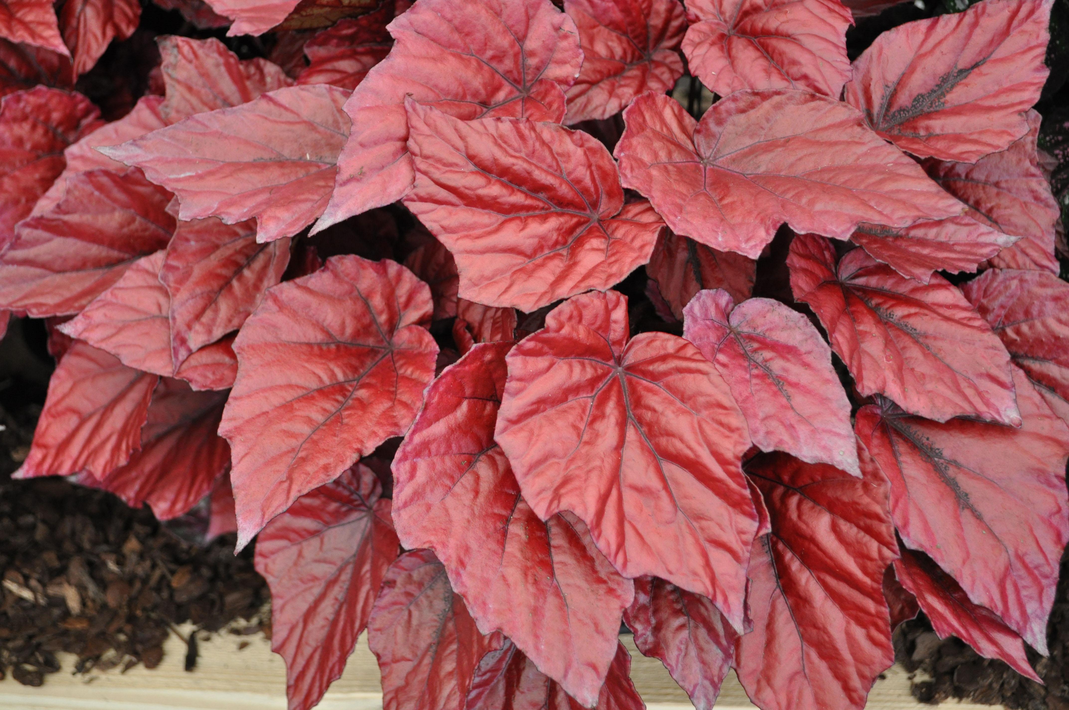 бегония с красными листьями фото и названия моих очень