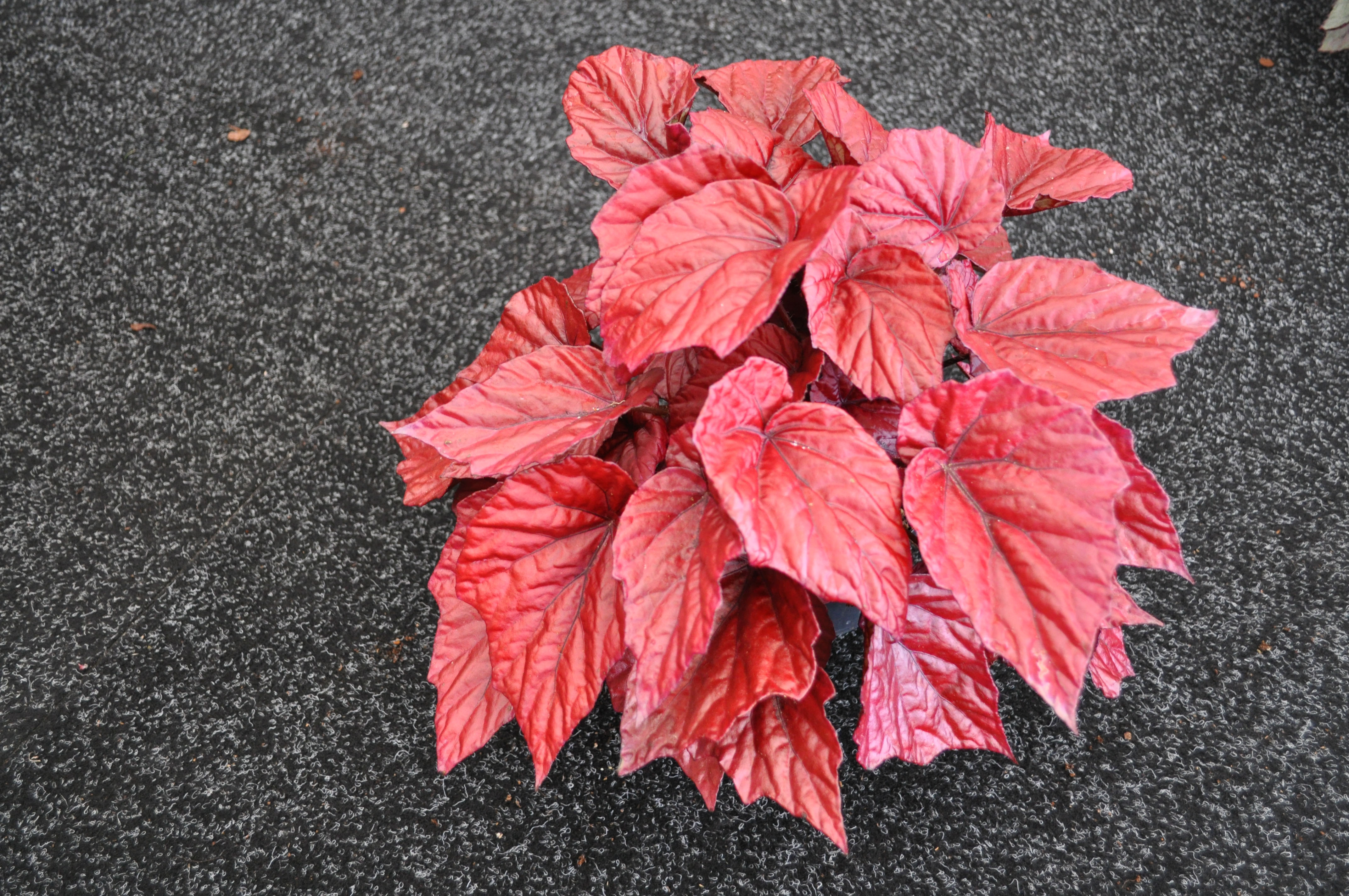 курсы актерского бегония с красными листьями фото и названия ногтя заполняем розовым