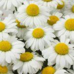 Leucanthemum Darling Daisy