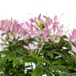 Cleome Clemintine Pink