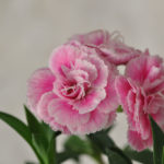 Dianthus Constant Cadence Peppermint Pink