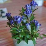 Gensiana Gracious Me Blue