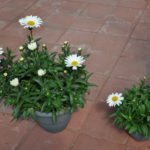 Leucanthemum Betsy Vs White Mountain