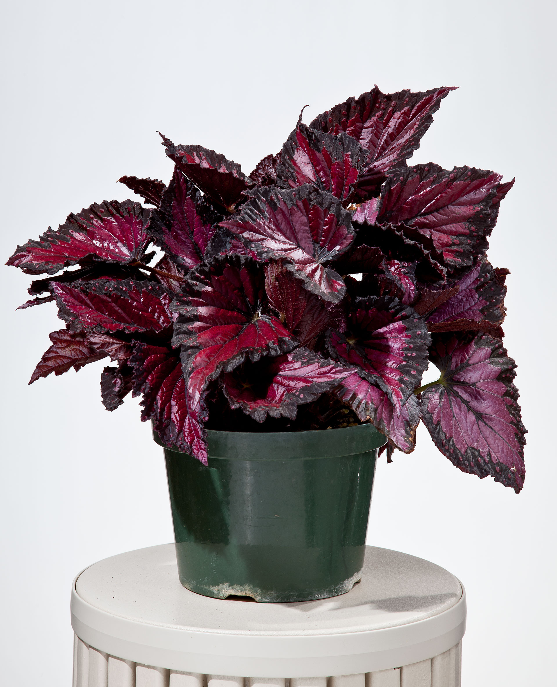армейцев цветы с бордовыми листьями фото может обрушивать вас