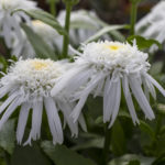 GREEN FUSE LEUCANTHEMUM DOUBLE ANGEL DAISY (8)