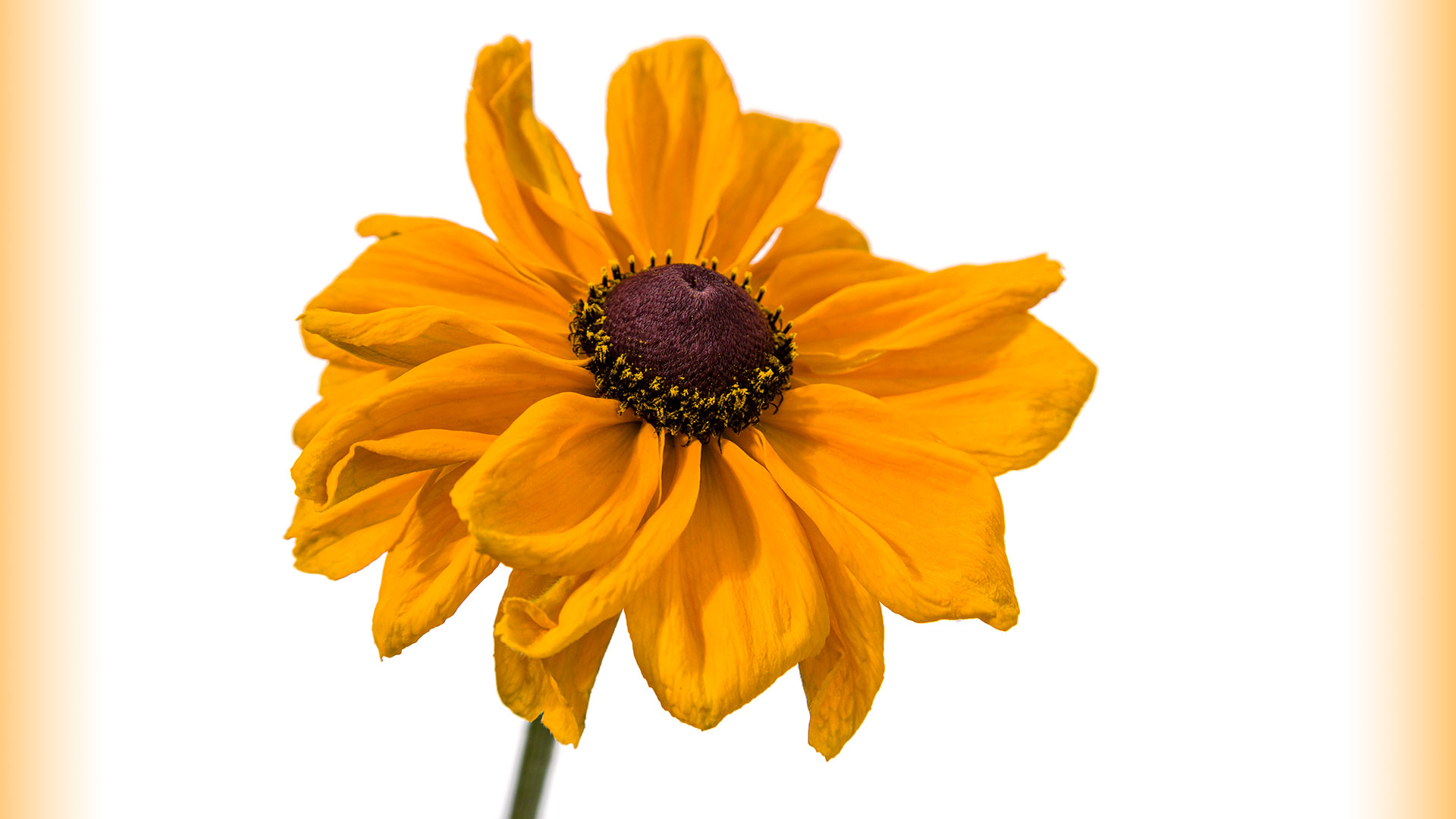 Rudbeckia Dakota Gold